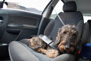 Hunde im Auto: Beim Transport müssen die Tiere gut gesichert sein.